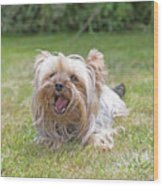 Yorkshire Terrier Is Smiling At The Camera Wood Print