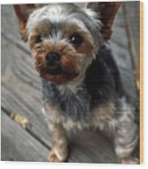 Yorkshire Terrier Puppy Wood Print