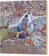 You Go First - Male And Female Mallard Ducks Wood Print