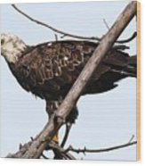 Young Adult Eagle Wood Print