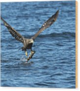 Young Bald Eagle II Wood Print