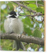 Young Black-capped Chickadee Wood Print