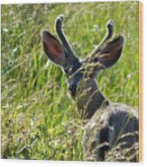 Young Black-tailed Deer With New Antlers Wood Print