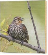 Young Blackbird Wood Print