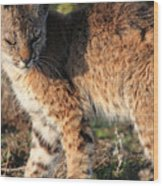 Young Bobcat 01 Wood Print by Wingsdomain Art and Photography