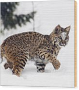 Young Bobcat Playing In Snow Wood Print by Melody Watson