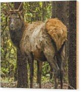 Young Bull Elk Wood Print