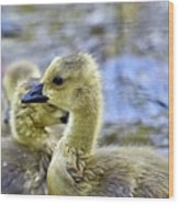 Young Canadain Goose Wood Print