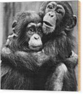 Young Chimpanzees Wood Print