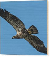 Young Eagle Color Wood Print
