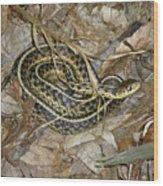 Young Eastern Garter Snake - Thamnophis Sirtalis Wood Print