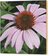 Young Echinacea Bloom Wood Print