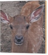 Young Elk Fawn Wood Print