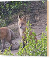 Young Foxes At The Den Wood Print