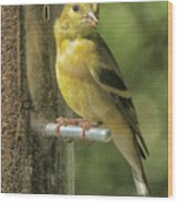 Young Goldfinch Wood Print