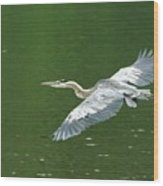 Young Great Blue Heron Taking Flight Wood Print