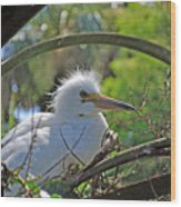 Young Great Egret Wood Print