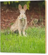 Young Healthy Wild Rabbit Eating Fresh Grass From Yard  Wood Print