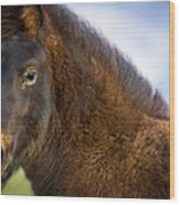 Young Icelandic Horse Wood Print