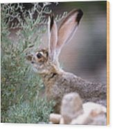 Young Jack Rabbit Snaking Wood Print
