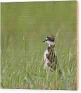Young Killdeer In Grass Wood Print