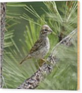 Young Lark Sparrow 2 Wood Print