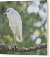 Young Little Blue Heron Wood Print