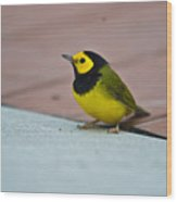Young Male Hooded Warbler 1 Wood Print