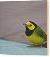 Young Male Hooded Warbler 3 Wood Print