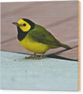 Young Male Hooded Warbler 5 Wood Print