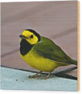 Young Male Hooded Warbler 6 Wood Print