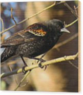 Young Male Red-winged Black Bird Wood Print