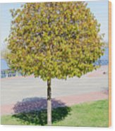 Young Maple Tree Wood Print