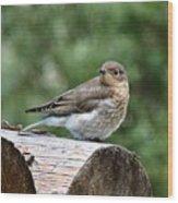 Young Mountain Bluebird Wood Print