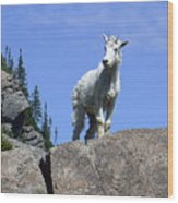 Young Mountain Goat Wood Print