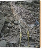 Young Night Heron Wood Print