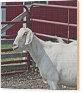 Young Old Goat White And Grayish Red Fence And Gate Barn In Close Proximity 2 9132017 Wood Print