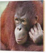 Young Orang Utan Looking Thoughtful Wood Print