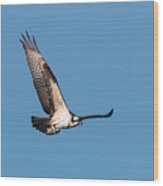 Young Osprey Flies With Its Breakfast Wood Print