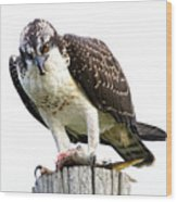 Young Osprey Wood Print