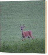 Young Pomfret Summer Buck Wood Print