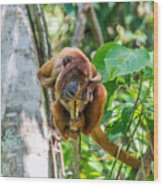Young Red Howler Monkey Wood Print