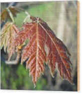Young Red Maple Leaf In May Wood Print