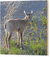 Young Rocky Mountain Bighorn Sheep Wood Print