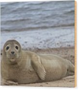 Young Seal Pup On Beach - Horsey, Norfolk, Uk Wood Print