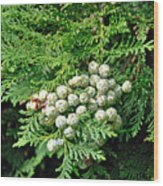 Young Seed Cones Of Lawson Cypress Wood Print