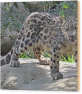 Young Snow Leopard Wood Print