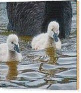 Young 'uns, Black Swan Cygnets Wood Print
