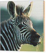 Young Zebra Wood Print