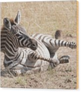 Zebra Foal Rolls In Dust On Savannah Wood Print